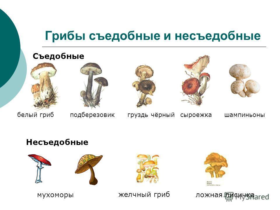 Грибы съедобные и несъедобные Съедобные Несъедобные белый грибподберезовикгруздь чёрныйсыроежкашампиньоны желчный гриб мухоморыложная лисичка