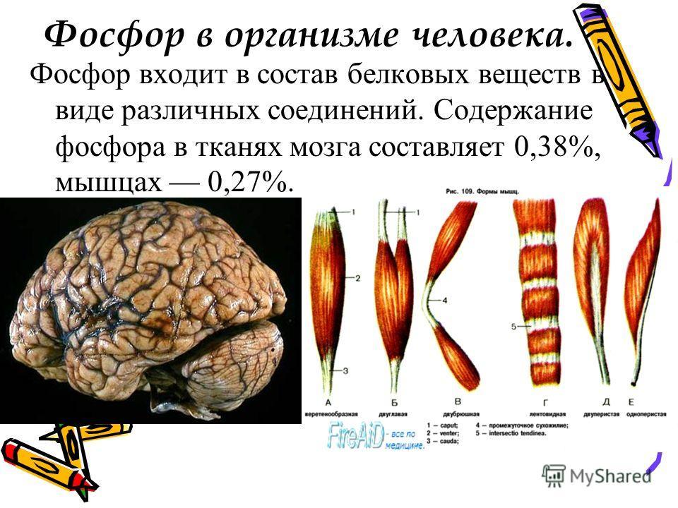 Фосфор в организме человека. Фосфор входит в состав белковых веществ в виде различных соединений. Содержание фосфора в тканях мозга составляет 0,38%, мышцах 0,27%.