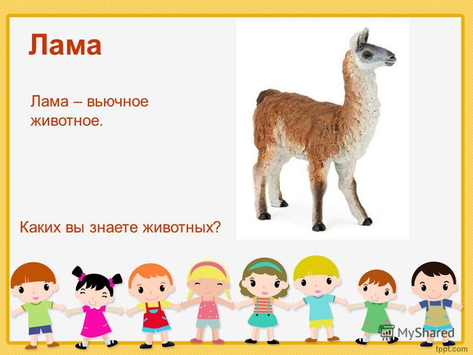 Лама Каких вы знаете животных? Лама – вьючное животное.