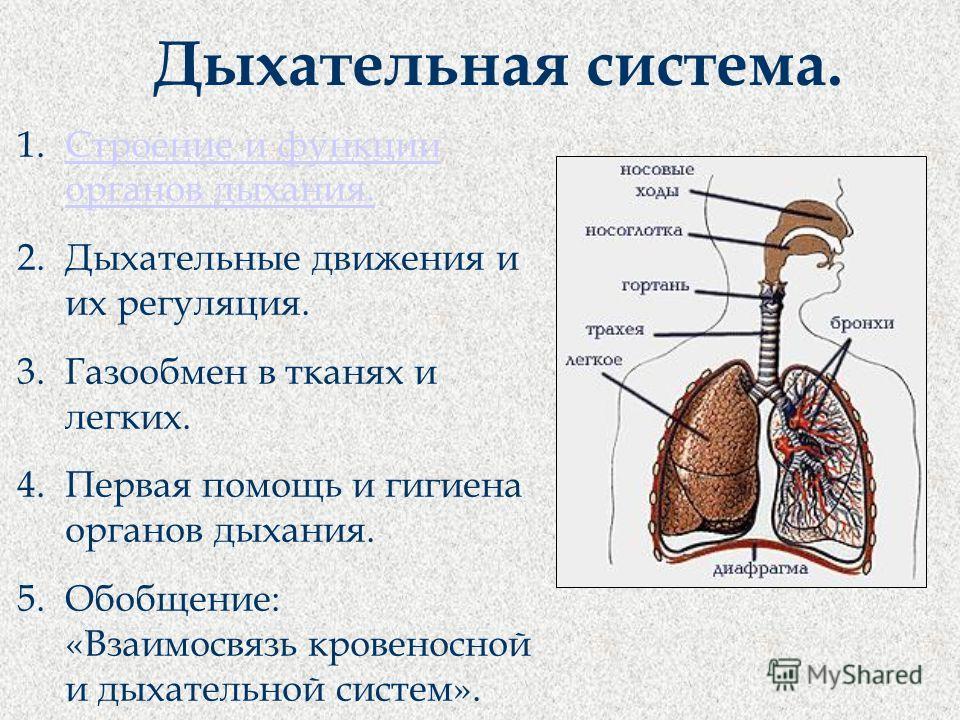 Дыхательная система. 1.Строение и функции органов дыхания.Строение и функции органов дыхания. 2.Дыхательные движения и их регуляция. 3.Газообмен в тканях и легких. 4.Первая помощь и гигиена органов дыхания. 5.Обобщение: «Взаимосвязь кровеносной и дых