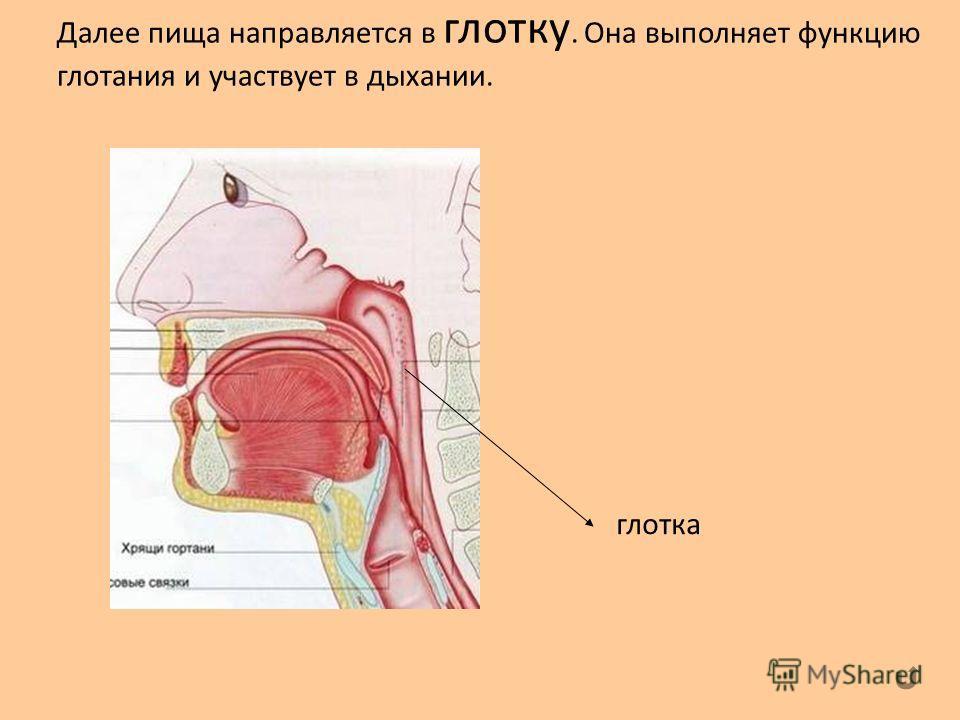 Далее пища направляется в глотку. Она выполняет функцию глотания и участвует в дыхании. глотка