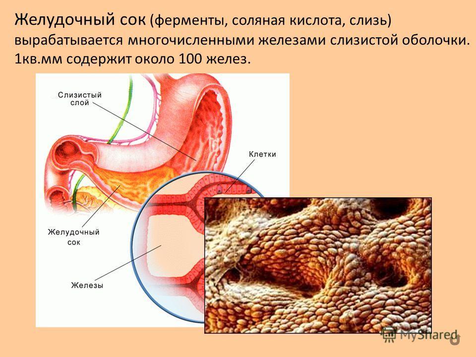 Желудочный сок (ферменты, соляная кислота, слизь) вырабатывается многочисленными железами слизистой оболочки. 1кв.мм содержит около 100 желез.