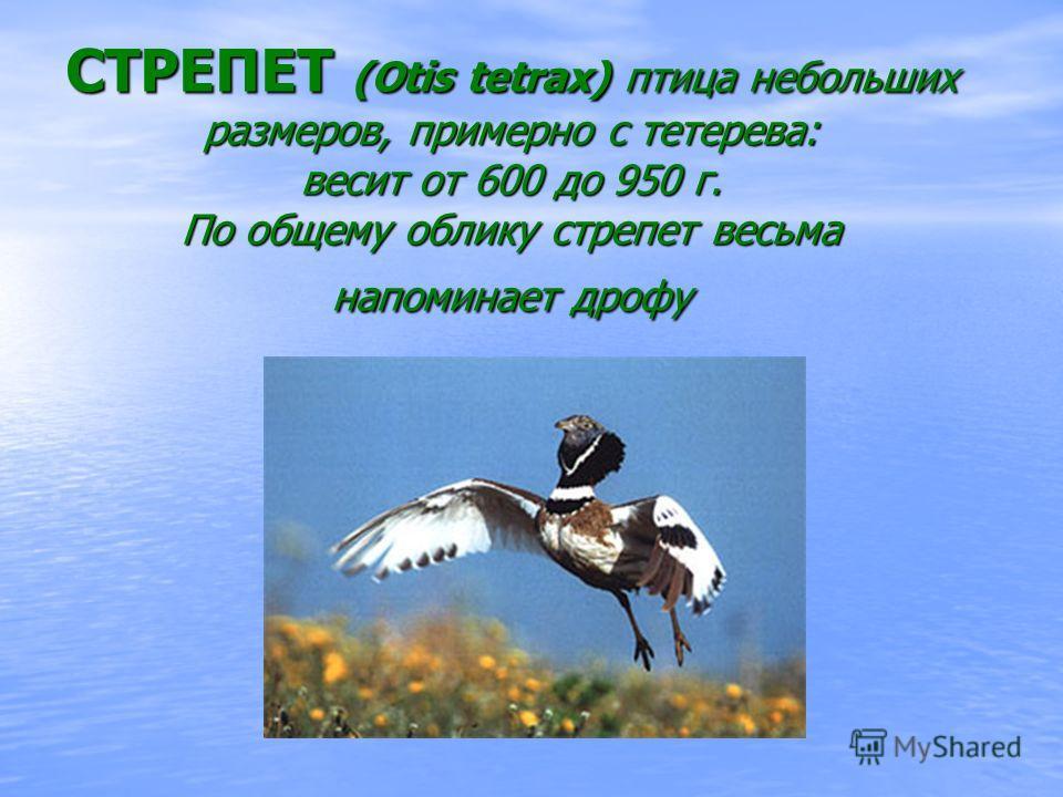 СТРЕПЕТ (Otis tetrax) птица небольших размеров, примерно с тетерева: весит от 600 до 950 г. По общему облику стрепет весьма напоминает дрофу