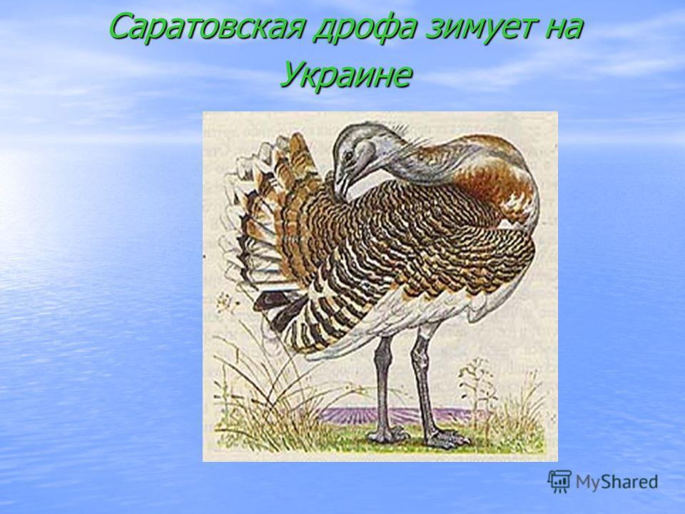 Саратовская дрофа зимует на Украине саратовская дрофа зимует на