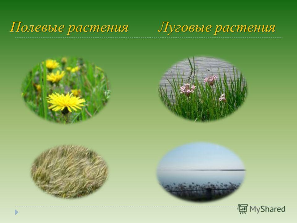 Полевые растенияЛуговые растения