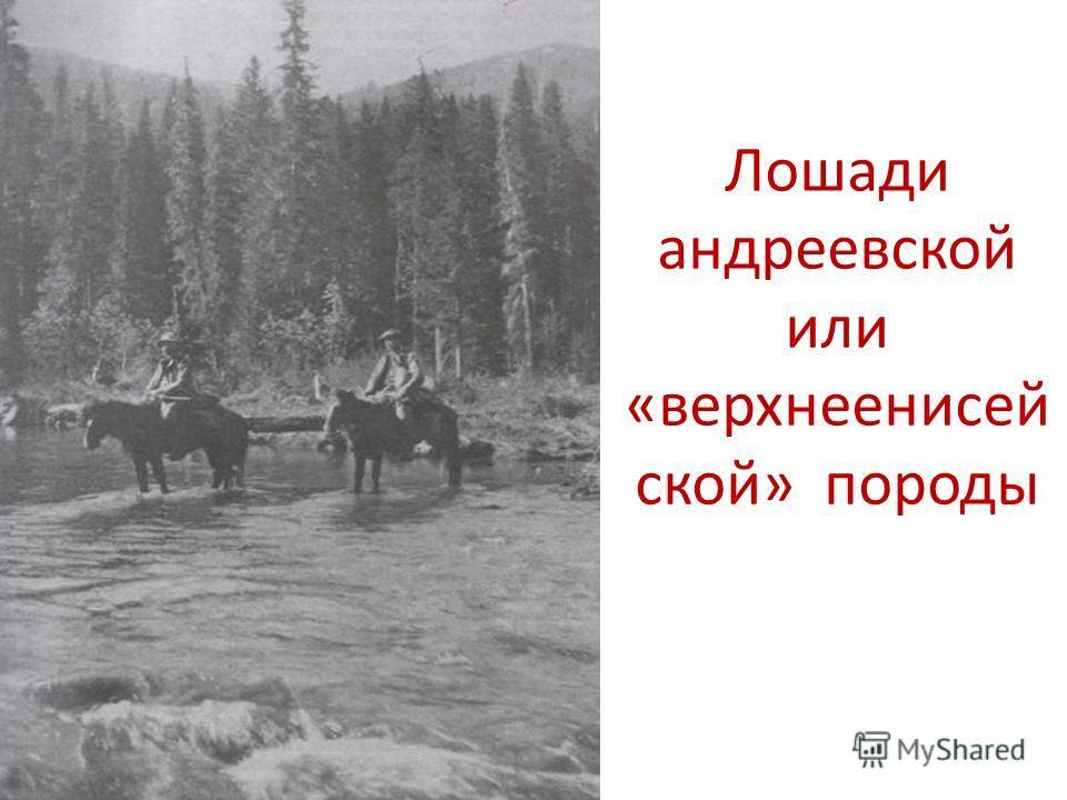 Лошади андреевской или «верхнеенисей ской» породы