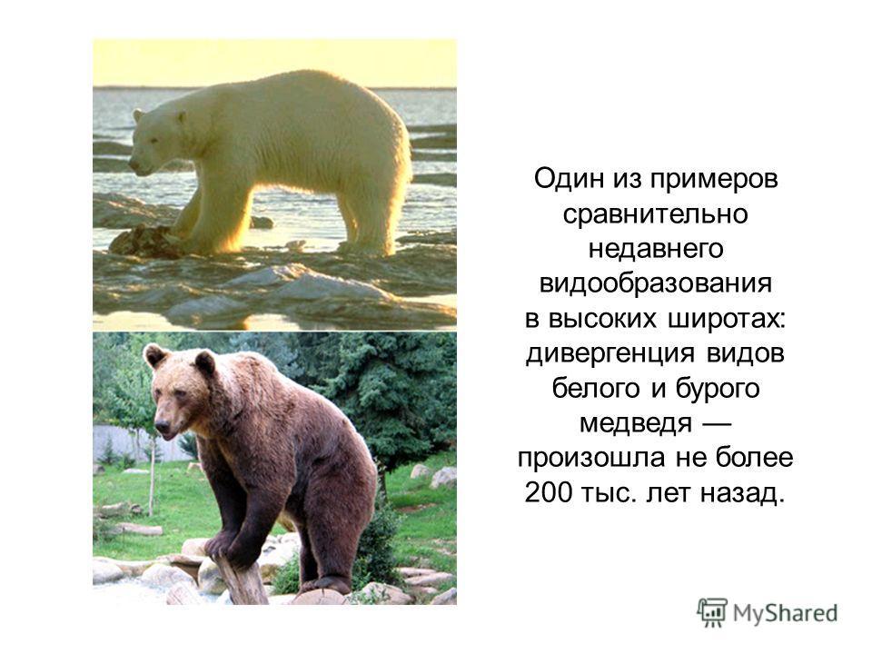 Один из примеров сравнительно недавнего видообразования в высоких широтах: дивергенция видов белого и бурого медведя произошла не более 200 тыс. лет назад.