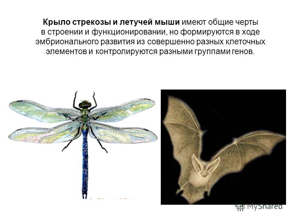 Крыло стрекозы и летучей мыши имеют общие черты в строении и функционировании, но формируются в ходе эмбрионального развития из совершенно разных клеточных элементов и контролируются разными группами генов.