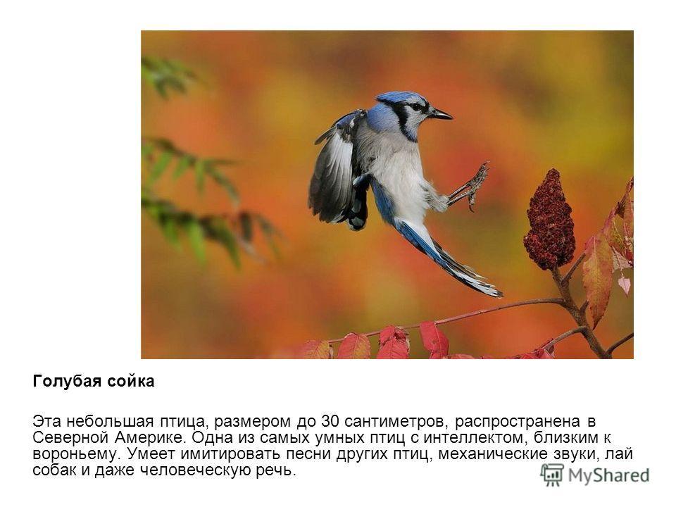 Голубая сойка Эта небольшая птица, размером до 30 сантиметров, распространена в Северной Америке. Одна из самых умных птиц с интеллектом, близким к вороньему. Умеет имитировать песни других птиц, механические звуки, лай собак и даже человеческую речь