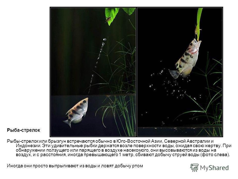Рыба-стрелок Рыбы-стрелок или брызгун встречаются обычно в Юго-Восточной Азии, Северной Австралии и Индонезии. Эти удивительные рыбки держатся возле поверхности воды, ожидая свою жертву. При обнаружении ползущего или парящего в воздухе насекомого, он