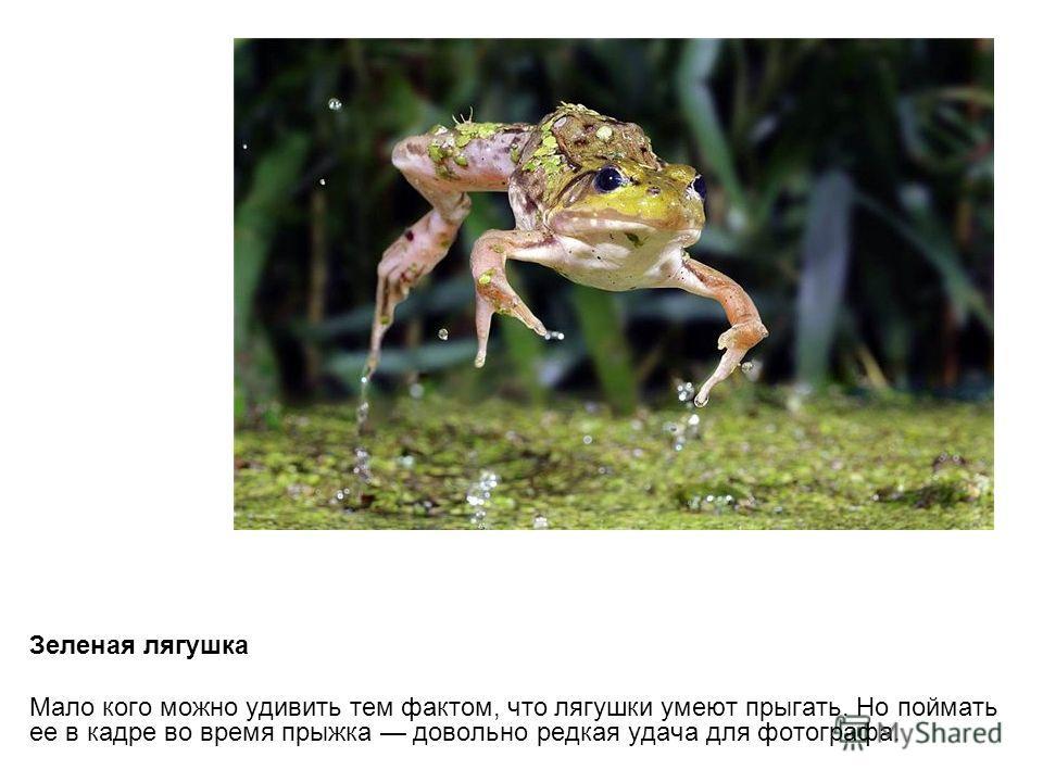 Зеленая лягушка Мало кого можно удивить тем фактом, что лягушки умеют прыгать. Но поймать ее в кадре во время прыжка довольно редкая удача для фотографа.