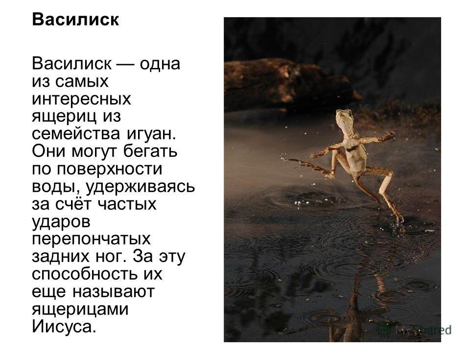 Василиск Василиск одна из самых интересных ящериц из семейства игуан. Они могут бегать по поверхности воды, удерживаясь за счёт частых ударов перепончатых задних ног. За эту способность их еще называют ящерицами Иисуса.