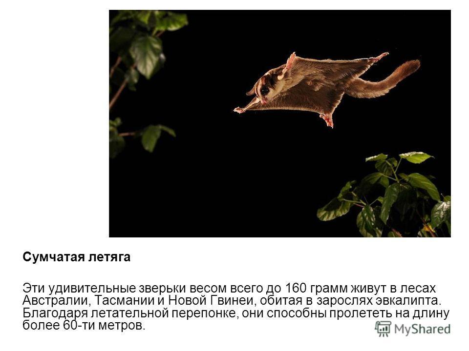 Сумчатая летяга Эти удивительные зверьки весом всего до 160 грамм живут в лесах Австралии, Тасмании и Новой Гвинеи, обитая в зарослях эвкалипта. Благодаря летательной перепонке, они способны пролететь на длину более 60-ти метров.