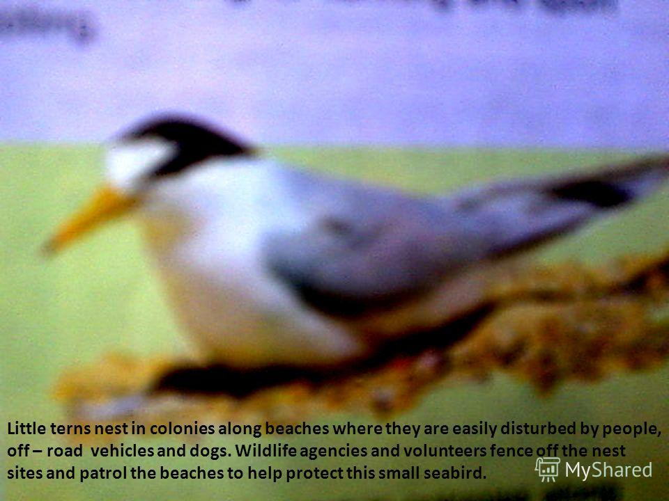 Little terns nest in colonies along beaches where they are easily disturbed by people, off – road vehicles and dogs. Wildlife agencies and volunteers fence off the nest sites and patrol the beaches to help protect this small seabird.