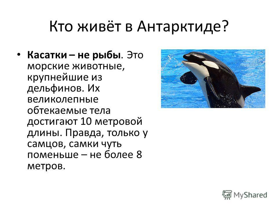 Кто живёт в Антарктиде? Касатки – не рыбы. Это морские животные, крупнейшие из дельфинов. Их великолепные обтекаемые тела достигают 10 метровой длины. Правда, только у самцов, самки чуть поменьше – не более 8 метров.