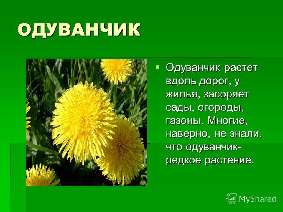 ОДУВАНЧИК Одуванчик растет вдоль дорог, у жилья, засоряет сады, огороды, газоны. Многие, наверно, не знали, что одуванчик- редкое растение. Одуванчик растет вдоль дорог, у жилья, засоряет сады, огороды, газоны. Многие, наверно, не знали, что одуванчи