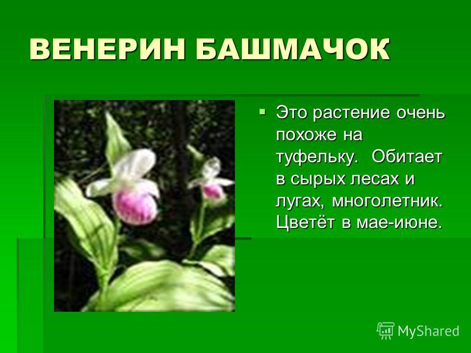 ВЕНЕРИН БАШМАЧОК Это растение очень похоже на туфельку. Обитает в сырых лесах и лугах, многолетник. Цветёт в мае-июне. Это растение очень похоже на туфельку. Обитает в сырых лесах и лугах, многолетник. Цветёт в мае-июне.