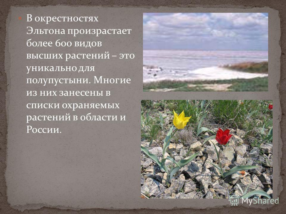 В окрестностях Эльтона произрастает более 600 видов высших растений – это уникально для полупустыни. Многие из них занесены в списки охраняемых растений в области и России.