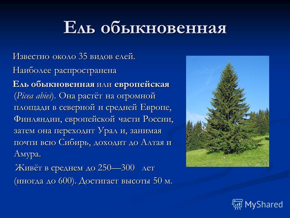 Ель обыкновенная Известно около 35 видов елей. Наиболее распространена Ель обыкновенная или европейская (Picea abies). Она растёт на огромной площади в северной и средней Европе, Финляндии, европейской части России, затем она переходит Урал и, занима