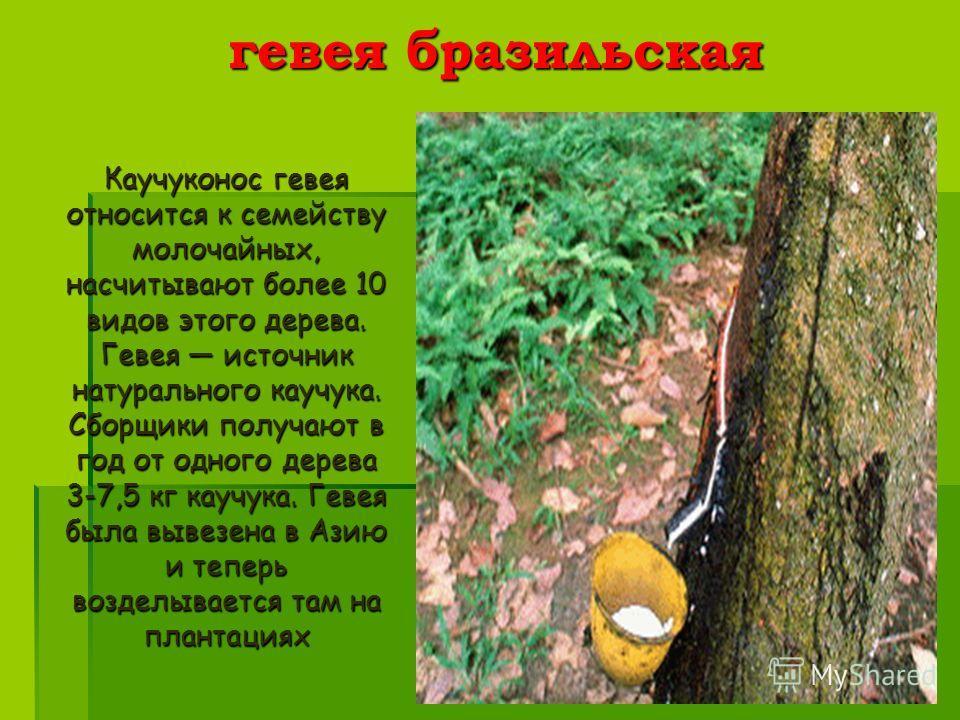лианы - самые длинные растения, из корней одной из них индейцы делают сильный яд кураре