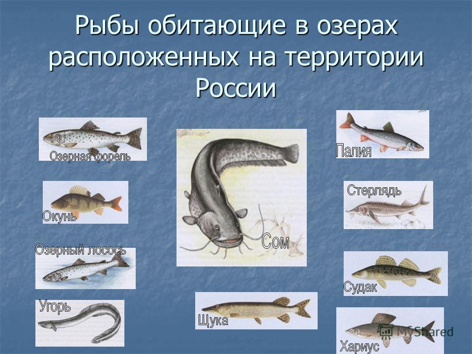 Рыбы обитающие в озерах расположенных на территории России