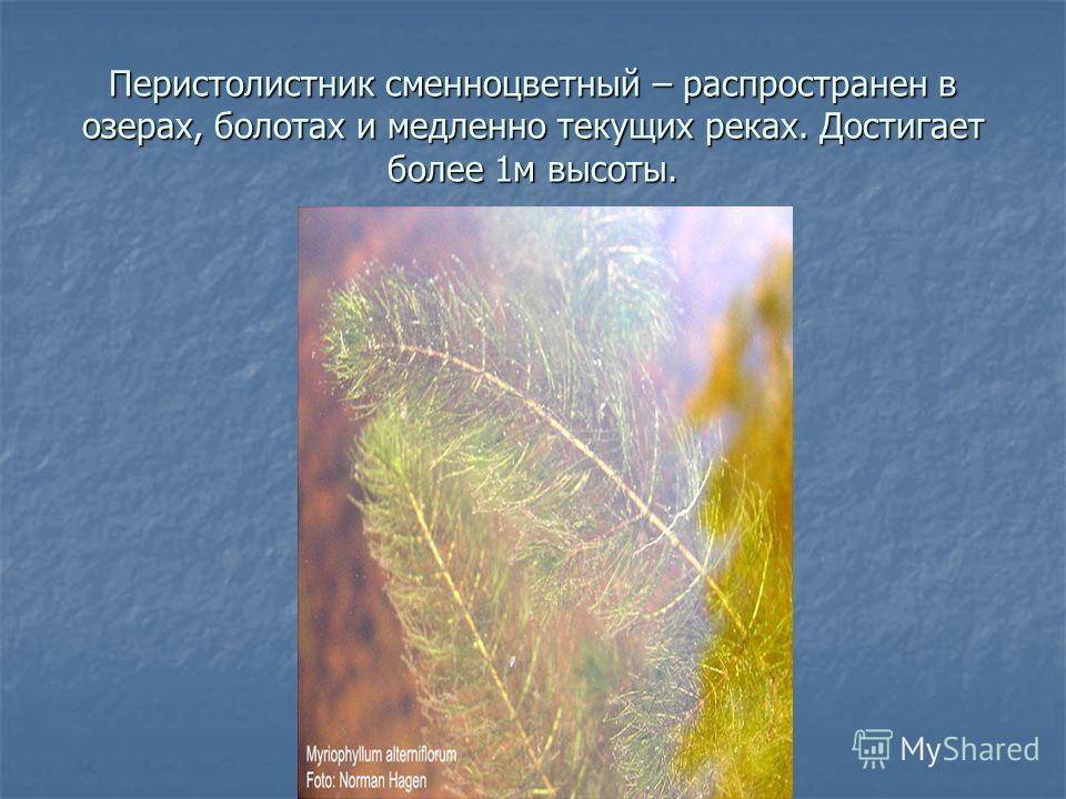 Перистолистник сменноцветный – распространен в озерах, болотах и медленно текущих реках. Достигает более 1м высоты.