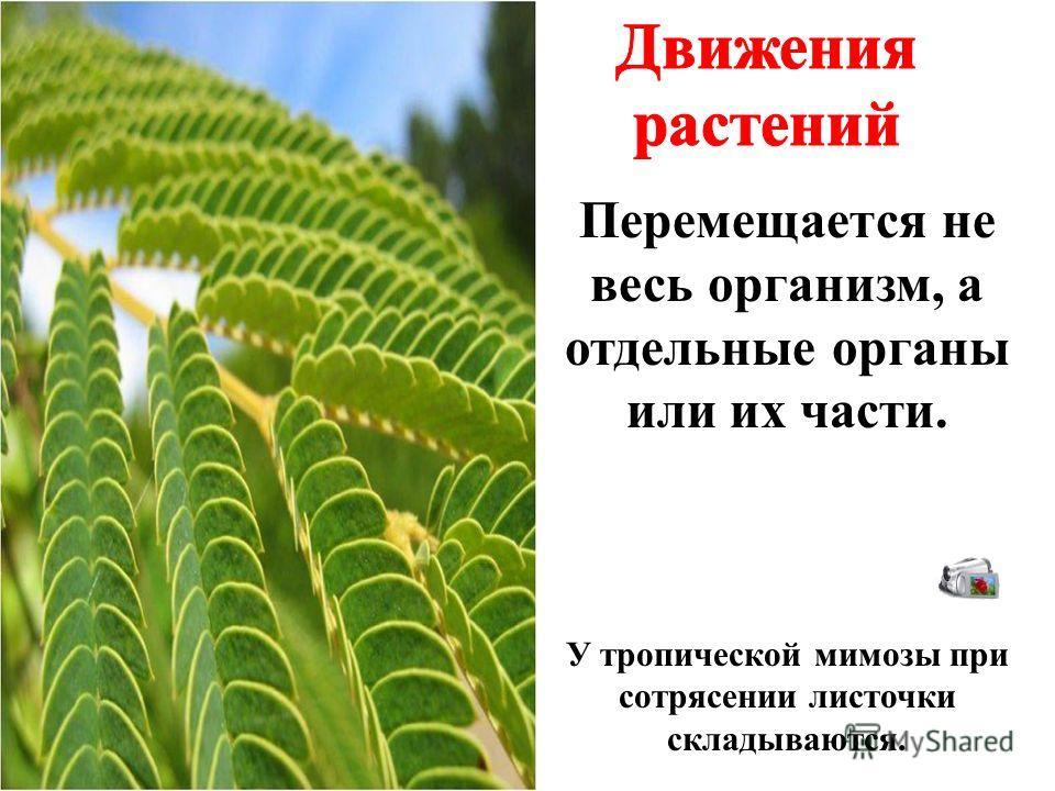Перемещается не весь организм, а отдельные органы или их части. У тропической мимозы при сотрясении листочки складываются.