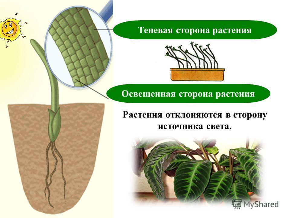 Теневая сторона растения Освещенная сторона растения Растения отклоняются в сторону источника света.