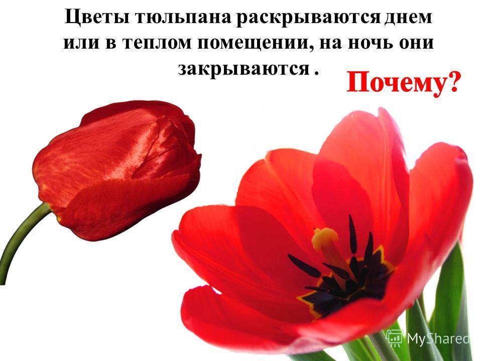 Цветы тюльпана раскрываются днем или в теплом помещении, на ночь они закрываются.