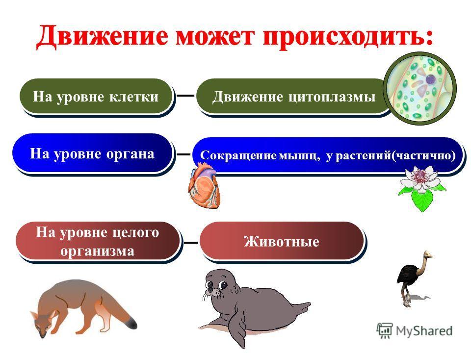 На уровне клетки На уровне органа На уровне целого организма На уровне целого организма Движение цитоплазмы Сокращение мышц, у растений(частично) Животные