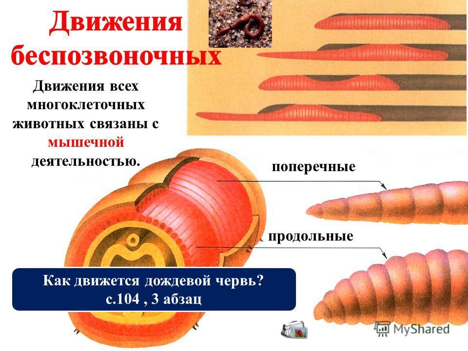 поперечные продольные Движения всех многоклеточных животных связаны с мышечной деятельностью. Как движется дождевой червь? с.104, 3 абзац
