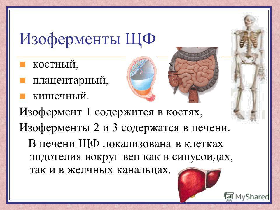 Изоферменты ЩФ костный, плацентарный, кишечный. Изофермент 1 содержится в костях, Изоферменты 2 и 3 содержатся в печени. В печени ЩФ локализована в клетках эндотелия вокруг вен как в синусоидах, так и в желчных канальцах.