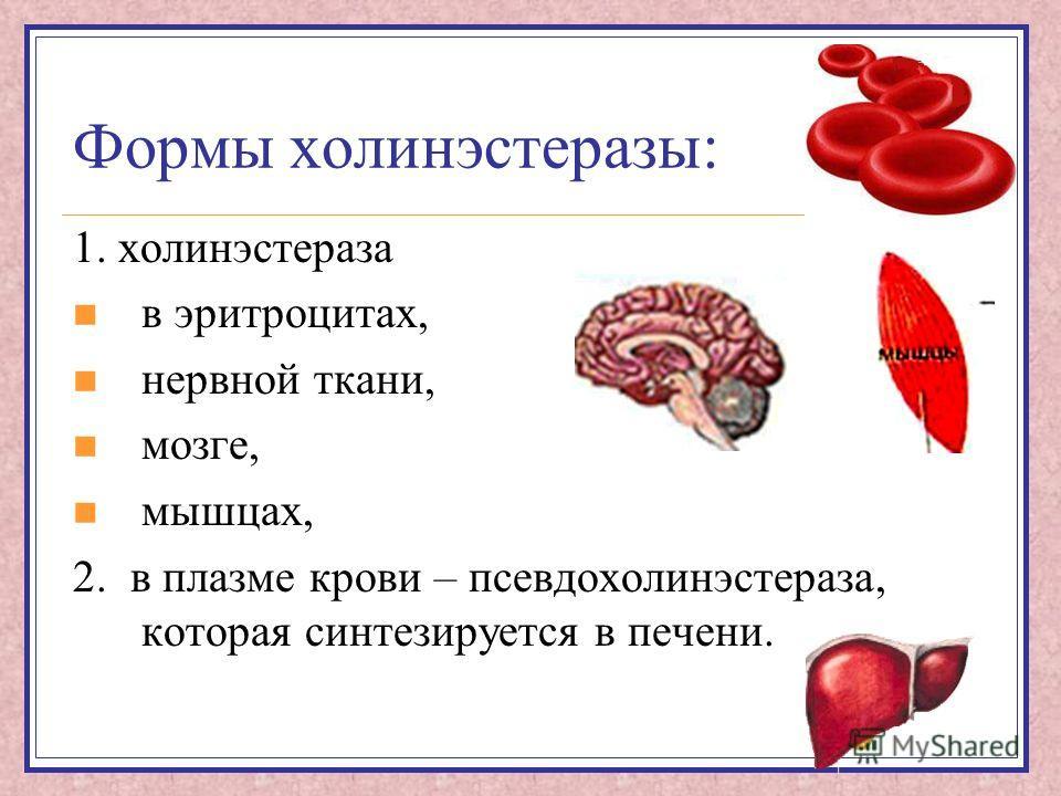 Формы холинэстеразы: 1. холинэстераза в эритроцитах, нервной ткани, мозге, мышцах, 2. в плазме крови – псевдохолинэстераза, которая синтезируется в печени.