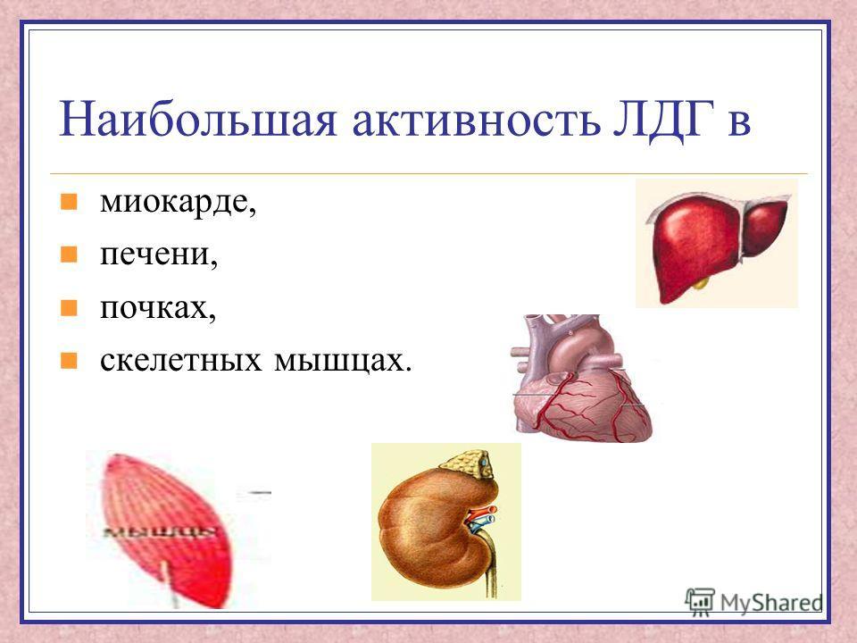 Наибольшая активность ЛДГ в миокарде, печени, почках, скелетных мышцах.