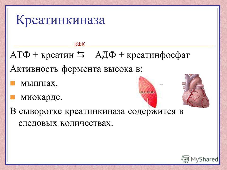 Креатинкиназа АТФ + креатин АДФ + креатинфосфат Активность фермента высока в: мышцах, миокарде. В сыворотке креатинкиназа содержится в следовых количествах. КФК