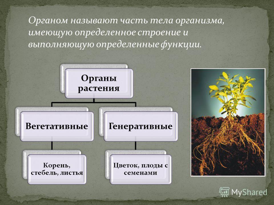 Органом называют часть тела организма, имеющую определенное строение и выполняющую определенные функции. Органы растения Вегетативные Корень, стебель, листья Генеративные Цветок, плоды с семенами