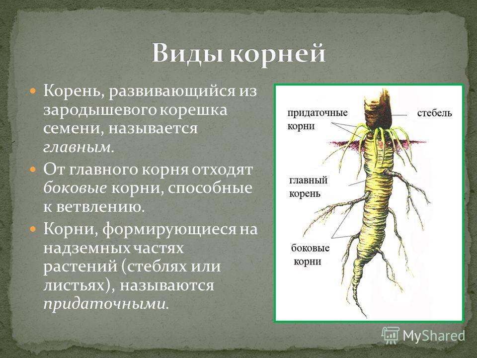 Корень, развивающийся из зародышевого корешка семени, называется главным. От главного корня отходят боковые корни, способные к ветвлению. Корни, формирующиеся на надземных частях растений (стеблях или листьях), называются придаточными.