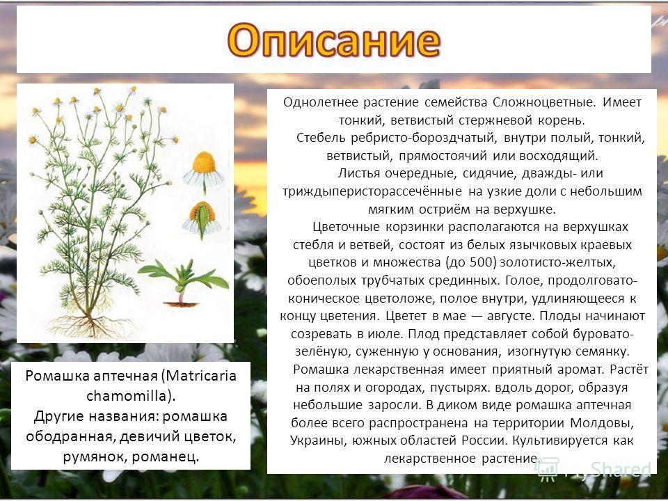 Ромашка аптечная (Matricaria chamomilla). Другие названия: ромашка ободранная, девичий цветок, румянок, романец. Однолетнее растение семейства Сложноцветные. Имеет тонкий, ветвистый стержневой корень. Стебель ребристо-бороздчатый, внутри полый, тонки