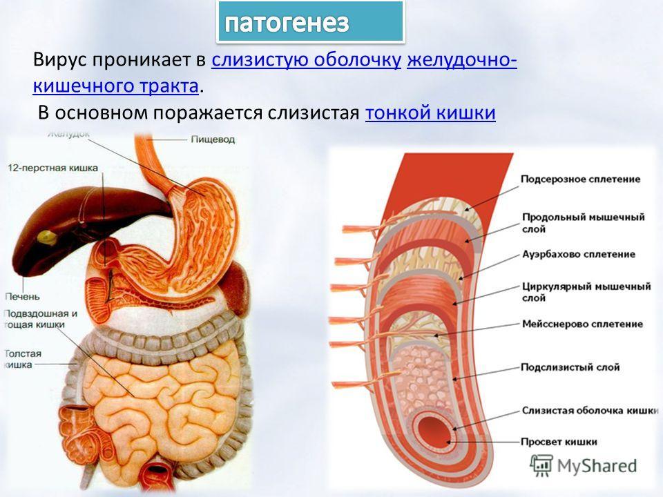 Вирус проникает в слизистую оболочку желудочно- кишечного тракта.слизистую оболочкужелудочно- кишечного тракта В основном поражается слизистая тонкой кишкитонкой кишки