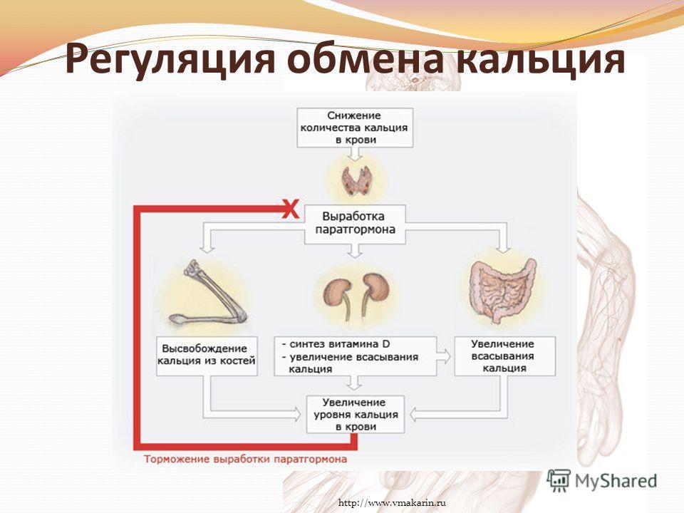 Регуляция обмена кальция http://www.vmakarin.ru
