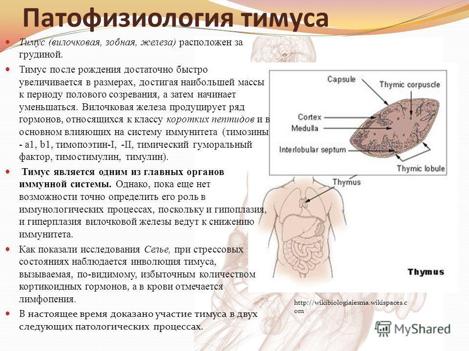Патофизиология тимуса Тимус (вилочковая, зобная, железа) расположен за грудиной. Тимус после рождения достаточно быстро увеличивается в размерах, достигая наибольшей массы к периоду полового созревания, а затем начинает уменьшаться. Вилочковая железа