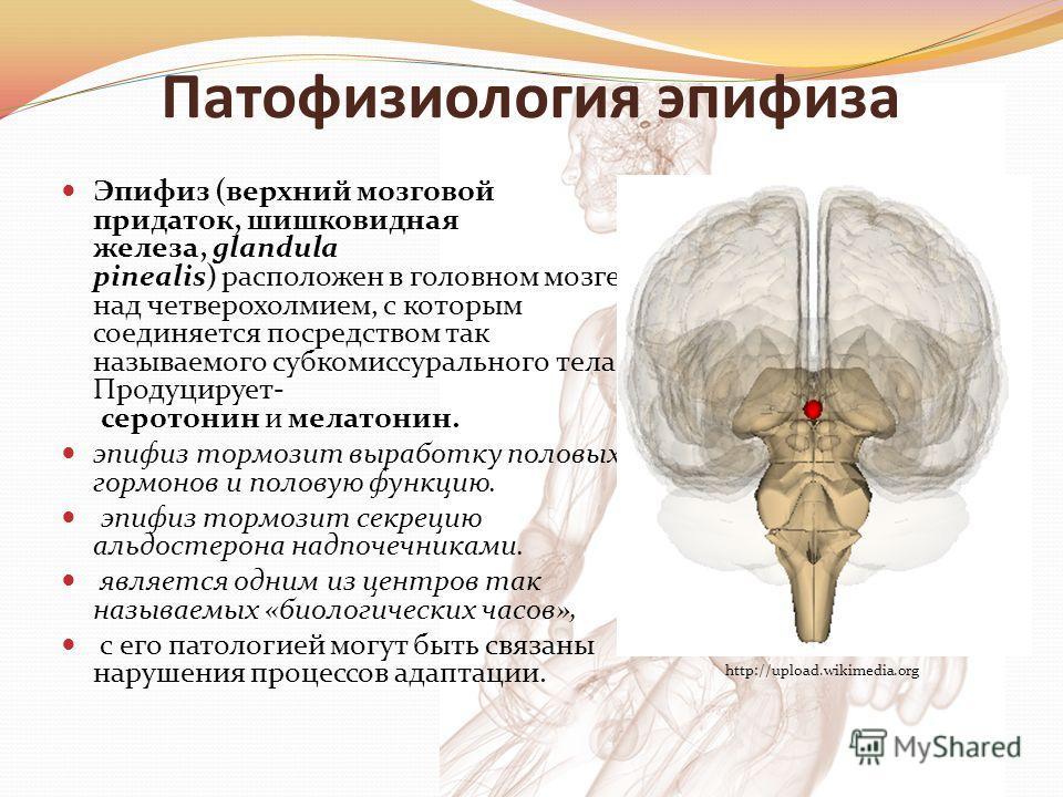 Патофизиология эпифиза Эпифиз (верхний мозговой придаток, шишковидная железа, glandula pinealis) расположен в головном мозге над четверохолмием, с которым соединяется посредством так называемого субкомиссурального тела. Продуцирует- серотонин и мелат