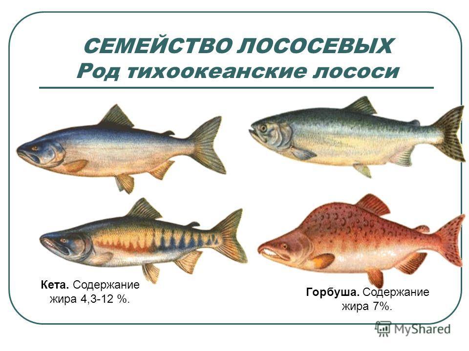 СЕМЕЙСТВО ЛОСОСЕВЫХ Род тихоокеанские лососи Кета. Содержание жира 4,3-12 %. Горбуша. Содержание жира 7%.