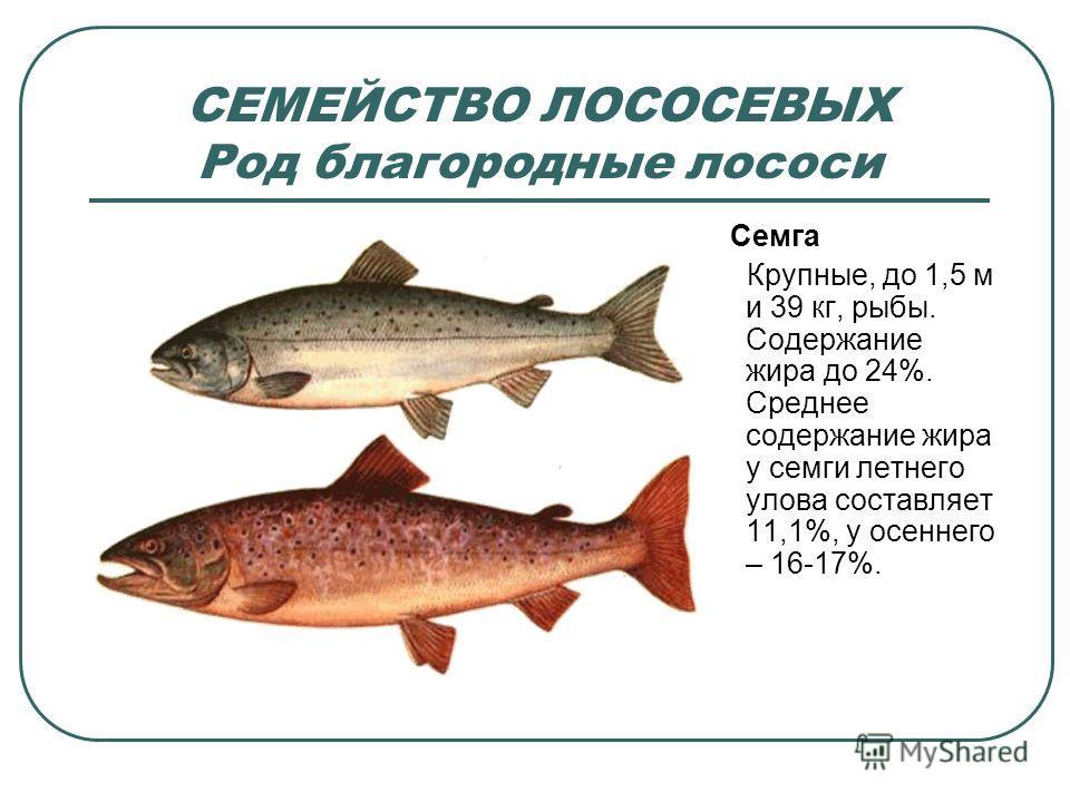 СЕМЕЙСТВО ЛОСОСЕВЫХ Род благородные лососи Семга Крупные, до 1,5 м и 39 кг, рыбы. Содержание жира до 24%. Среднее содержание жира у семги летнего улова составляет 11,1%, у осеннего – 16-17%.