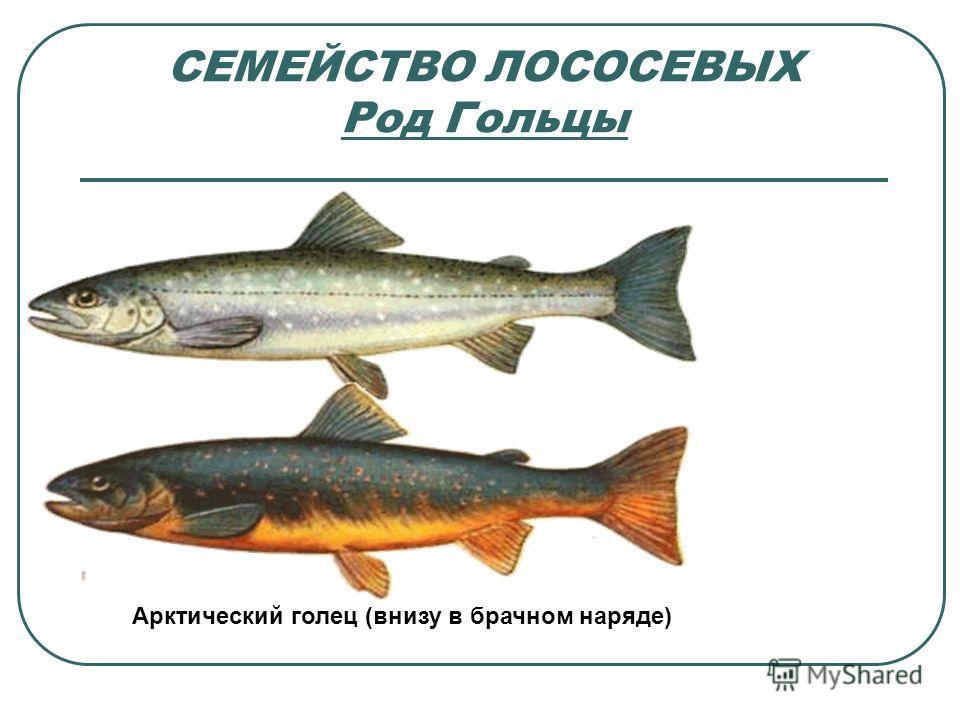 СЕМЕЙСТВО ЛОСОСЕВЫХ Род Гольцы Арктический голец (внизу в брачном наряде)