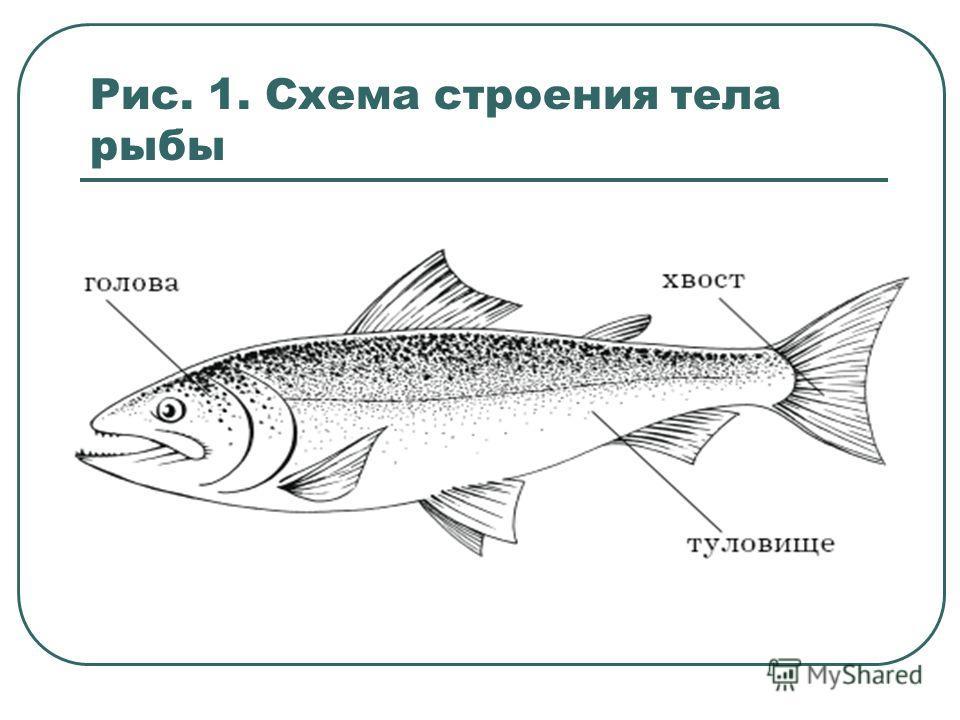 Рис. 1. Схема строения тела рыбы