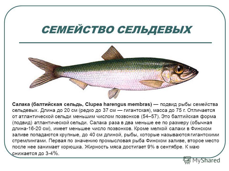 СЕМЕЙСТВО СЕЛЬДЕВЫХ Салака (балтийская сельдь, Clupea harengus membras) подвид рыбы семейства сельдевых. Длина до 20 см (редко до 37 см гигантская), масса до 75 г. Отличается от атлантической сельди меньшим числом позвонков (54–57). Это балтийская фо