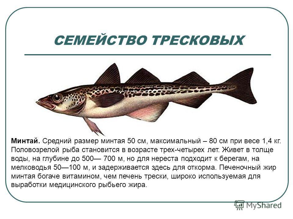 СЕМЕЙСТВО ТРЕСКОВЫХ Минтай. Средний размер минтая 50 см, максимальный – 80 см при весе 1,4 кг. Половозрелой рыба становится в возрасте трех-четырех лет. Живет в толще воды, на глубине до 500 700 м, но для нереста подходит к берегам, на мелководья 501