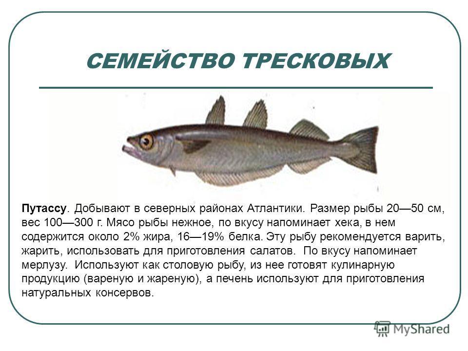 СЕМЕЙСТВО ТРЕСКОВЫХ Путассу. Добывают в северных районах Атлантики. Размер рыбы 2050 см, вес 100300 г. Мясо рыбы нежное, по вкусу напоминает хека, в нем содержится около 2% жира, 1619% белка. Эту рыбу рекомендуется варить, жарить, использовать для пр