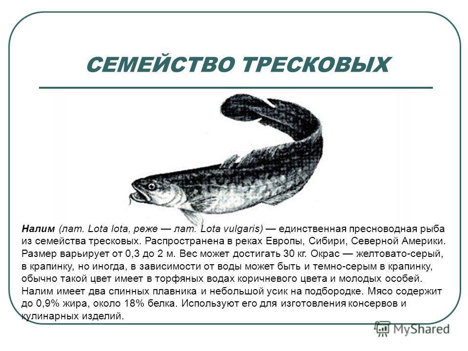 СЕМЕЙСТВО ТРЕСКОВЫХ Налим (лат. Lota lota, реже лат. Lota vulgaris) единственная пресноводная рыба из семейства тресковых. Распространена в реках Европы, Сибири, Северной Америки. Размер варьирует от 0,3 до 2 м. Вес может достигать 30 кг. Окрас желто